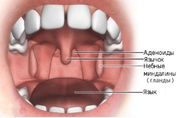 Схема горла